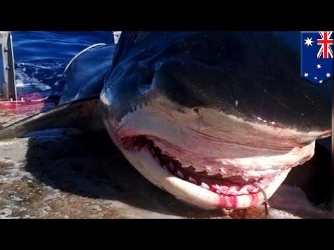 Un gigantesque requin-tigre de 6 mètres est pêché en Australie streaming vf
