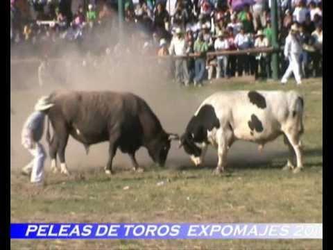 Peleas  de Toros  en EXPO MAJES 2010 en El Pedregal Arequipa