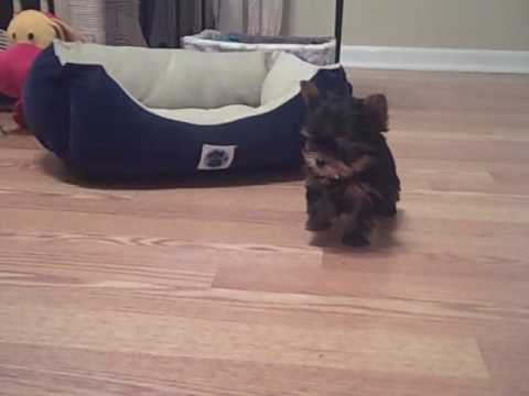 """TEACUP YORKIE PUPPIE available for purchase-AKC- """"JULIET"""" will only be 1.5-2 pounds fully grown"""