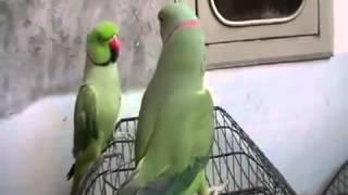 Talking Parrot pakistani parrot