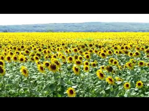 Sunflowers, Western Transdanubia, Hungary, Europe