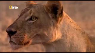 War for territory . Lions and petulants / Nat Geo Wild 2018 HD