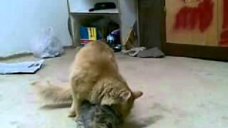 kucing ngewek