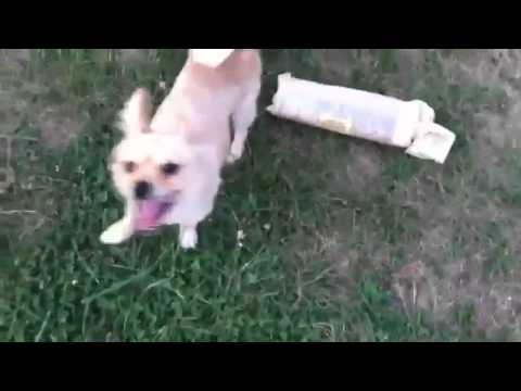 Pomeranian Humping My Newspaper  #dogporn video