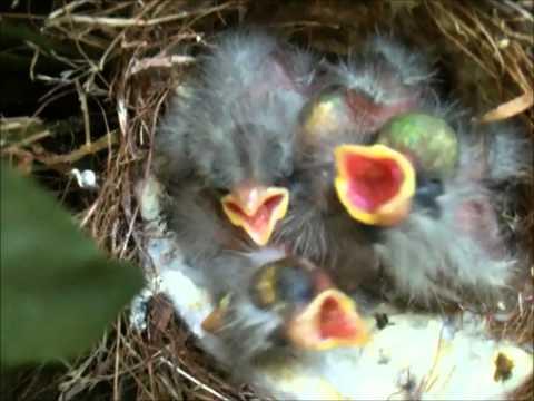 Baby Birds Begging for Food