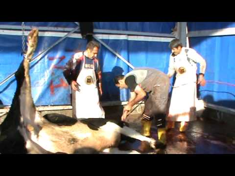 Kurban Kesimi 2011 2 also sacrificed cut the bull looking at women