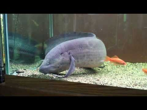damien the lungfish eating