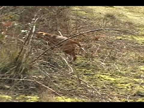 Rabbit Hunting with beagles Video