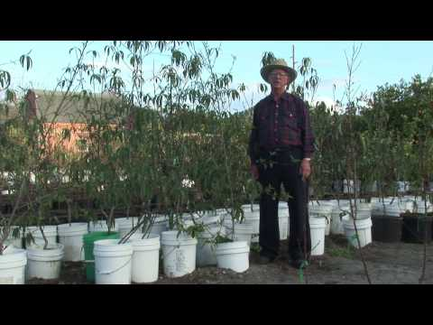 How to Grow Peach Trees : How to Grow Peach Trees From Seeds
