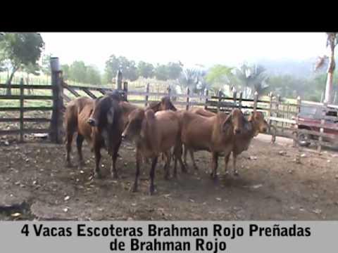 4 VACAS ESCOTERAS BRAHMAN ROJO PREÑADAS DE BRAHMAN ROJO