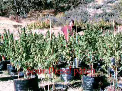 HPS - Marijuana Plantation WATCH NOW