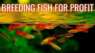 Breeding Fish for Profit Aquarium 🐠 Selling Guppies, Bushynose Plecos, Cherry Shrimp for Money