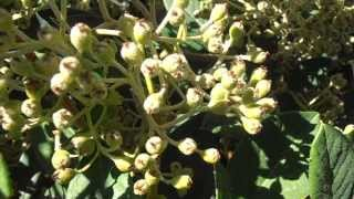 Arbustos de hoja perenne cuidar de tus plantas es - Arbustos de jardin de hoja perenne ...