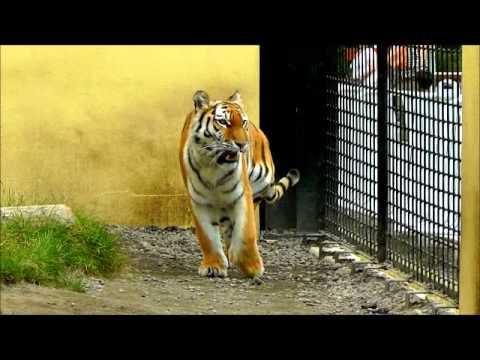 2011年7月24日 釧路市動物園アムールトラ ココア3