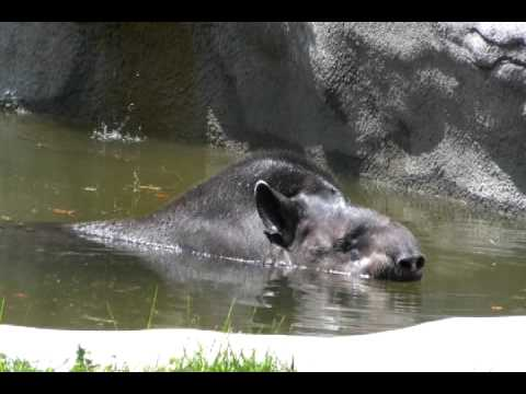 Ungulates at the Detroit Zoo- Swimming Tapir Video