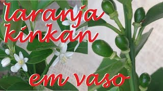 Laranja Kinkan em vasos , Cultive da melhor forma !