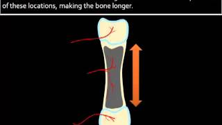 Bone Formation Growth