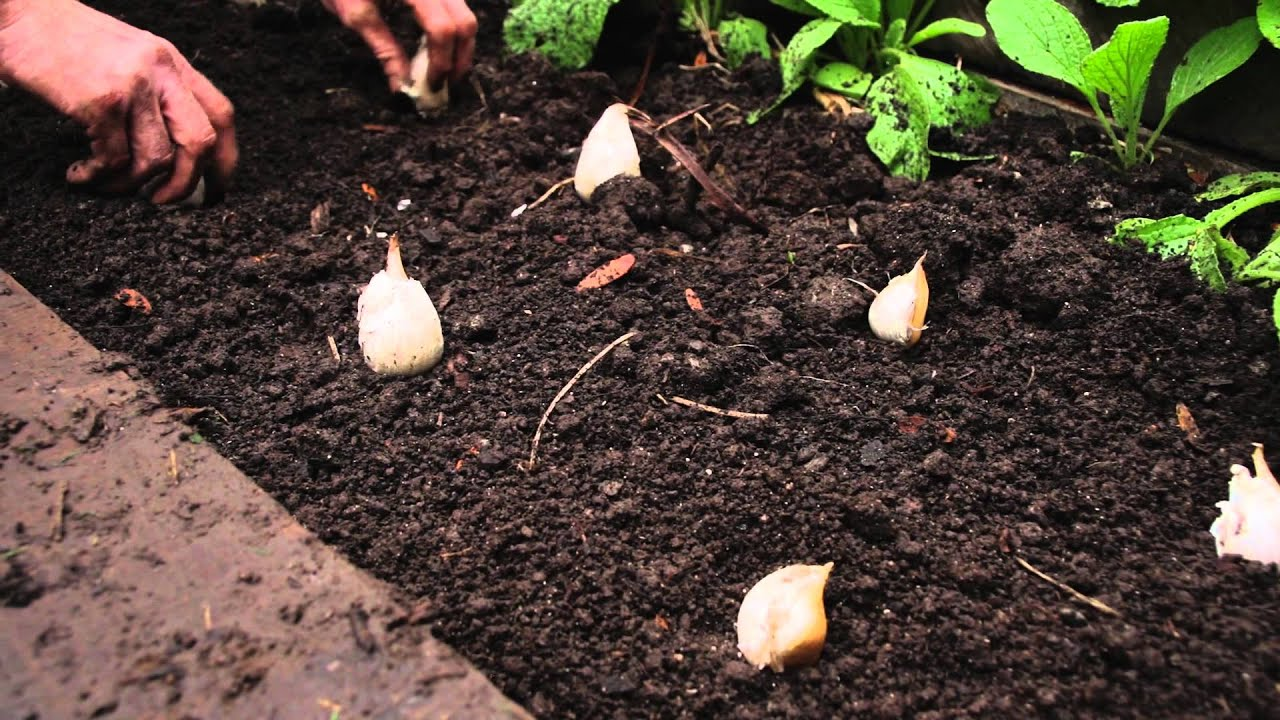 Garlic Plant Images How to Plant Garlic