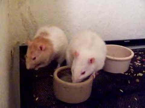 Bossy rat, rats, cute, funny, pets, animals
