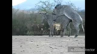 Amazing Zebra(mating) breeding best of 2018
