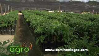 Vacunación de plantas en viveros con agrobiologicos
