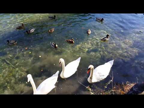 Лебеди  Кормим лебедей