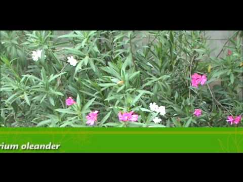 Laurel de flor youtube for Laurel de jardin