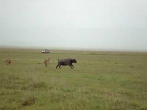 Sete leões atacam três búfalos em parque na Tanzânia