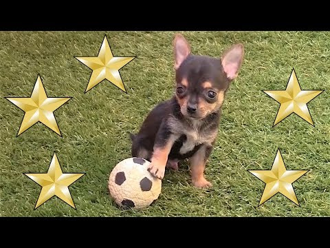 Cachorro chihuahua macho al mundial futbol. Music Videos