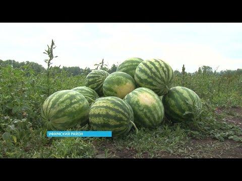 Выращивание арбузов в башкирии 73