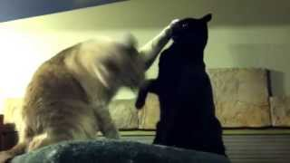 Extreme Cat Wrestling - Funny Cats