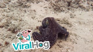 Beautiful Swimming Octopus || ViralHog