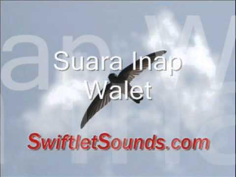 Swiftlet Sounds - Suara Inap Walet Internal video