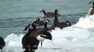 The Canada goose,the mating period