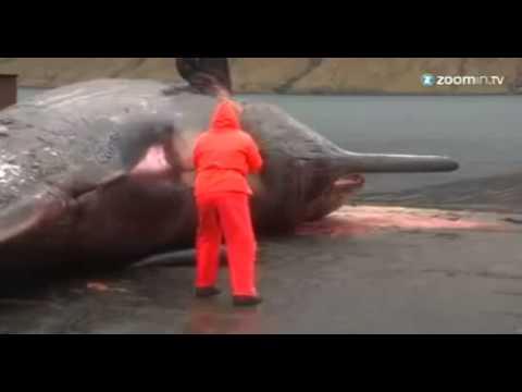 Baleia explode devido a gases, assista!