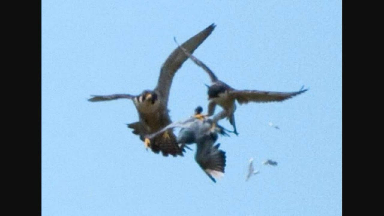 Still shots of Peregrine Falcons catching a Pigeon. - YouTube