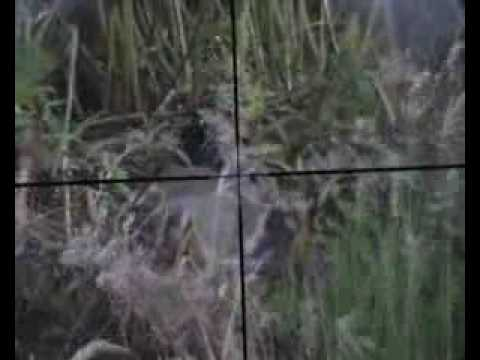 rabbit hunting Video