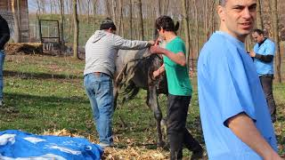 Castrare armasar pur-sange arab. Arab stallion emasculation.  Part I