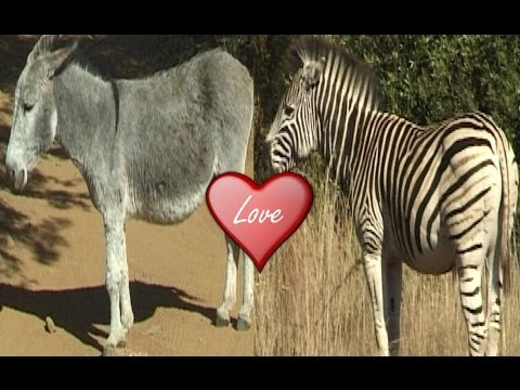Zebra Mating With Donkey. video