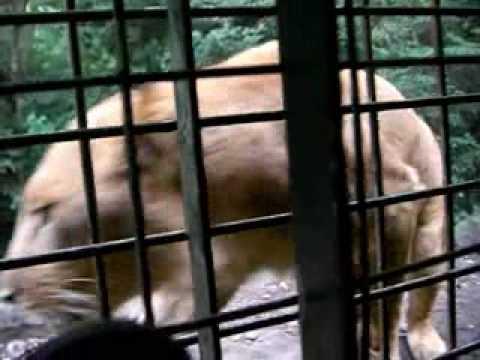 2009.9.2 富士サファリパークのライオン