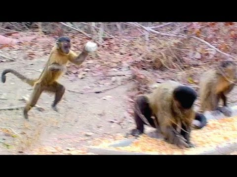 Capuchin Monkeys Flirt By Throwing Stones video