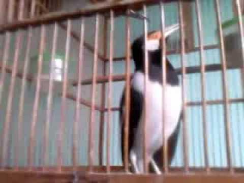 Download Lagu Jalak Suren, Buat Para Pecinta Burung berkicau MP3 Free