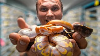 HUGE BABY SNAKE UPDATE!! INSANE BABIES!! | BRIAN BARCZYK