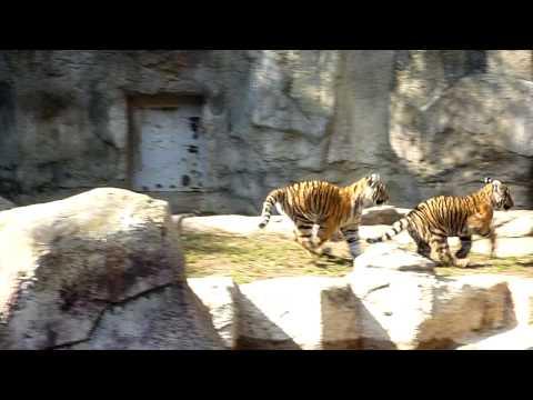 とべ動物園~子トラのきょうだい~