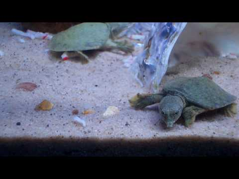 soft shell turtle vs baby lobster