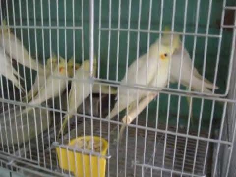 Criação de periquito australiano.wmv