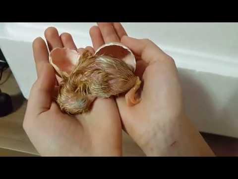 Чудо рождения! Вылупление цыпленка. Новорожденный цыпленок.