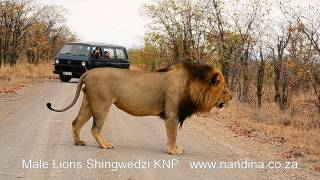 Male Lions Shingwedzi showing flehmen response