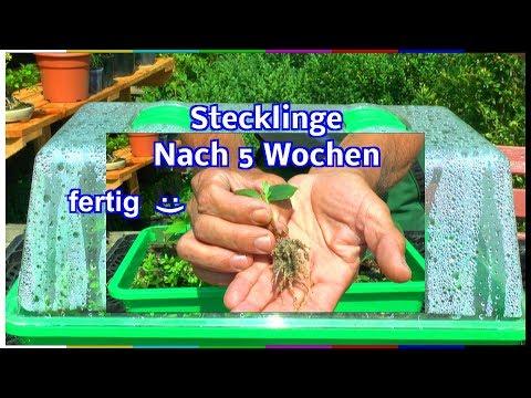 Stecklinge bewurzeln nach 5 Wochen Deutzia Forsythia und Lonicera können pikiert werden Garten erleb