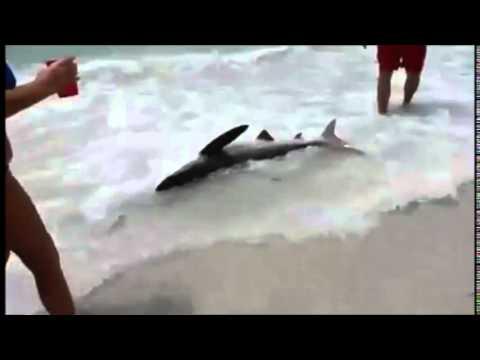 Shark in St Petersburg beach Tampa Florida, Tiburon.